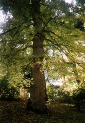 Photo du ginkgo de caen - Le jardin des plantes caen ...